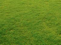 オアシスフィールド® ―耐乾性・耐塩性改良コウライシバ―