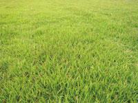 シルキーフィールド ―景観向上型改良コウライシバ―